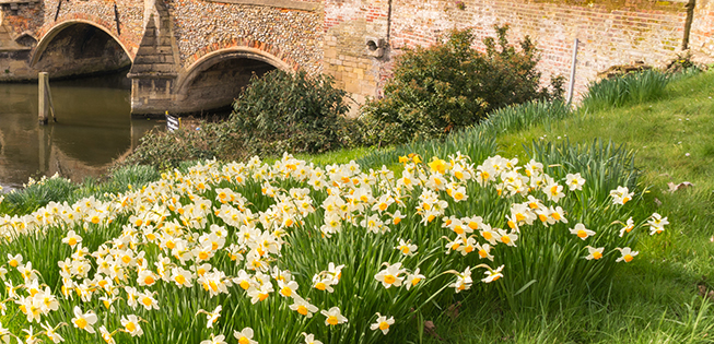 Oak Tree Mobility spring daffodils